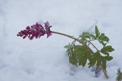 Corydalisblommor som täckas med oväntad snö på en förkylning och en molnig vårmorgon Arkivfoto