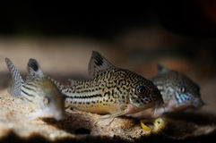 Corydora catfish Stock Photography