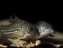 Corydora catfish Stock Images
