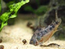 Corydora. Catfish nosing in the sand Royalty Free Stock Image