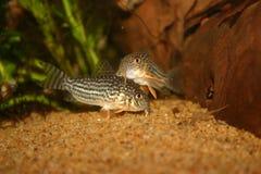 Corydoras Στοκ Εικόνες