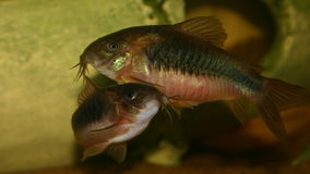 Corydoras photographie stock