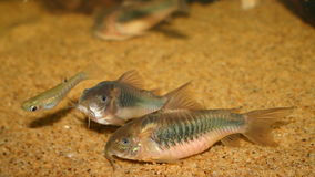 Corydoras Royalty Free Stock Image