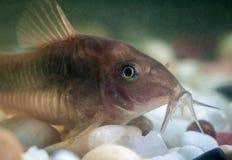 Corydoras catfish. Stock Image
