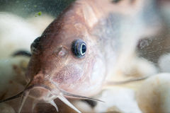 Corydoras catfish. Royalty Free Stock Image