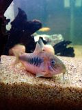Corydoras en bronze photographie stock