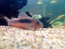 Corydoras en bronze images stock