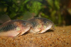 Corydoras en bronze photo stock
