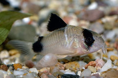 Corydoras fish Royalty Free Stock Photography