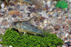 Corydoras fish Stock Photos