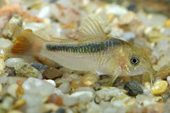 Corydoras fish Royalty Free Stock Photo