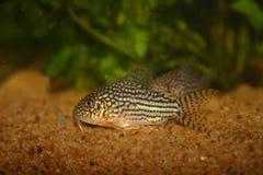 Corydoras fisk Royaltyfri Bild
