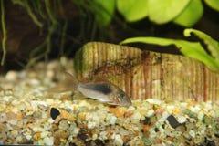 Corydoras longfin Arkivfoton