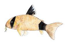 Corydoras panda. Aquarium fish, catfish. Watercolor illustration. Corridor panda is named after a large panda because of its similarity in coloring. The body of royalty free illustration
