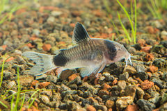 Corydoras panda 1. Corydoras panda is a species of catfish belonging to the genus Corydoras, of the family Callichthyidae, and is a native member of the riverine Royalty Free Stock Photography