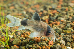 Corydoras panda 2. Corydoras panda is a species of catfish belonging to the genus Corydoras, of the family Callichthyidae, and is a native member of the riverine stock photography