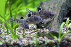 Corydoras Trinilleatus Catfish. Three Corydoras Trinilleatus Catfish, tropical aquarium fish.  Space for copy Stock Photography