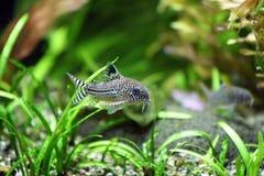 Corydoras Trinilleatus Catfish. A Corydoras Trinilleatus Catfish swimming in a planted tropical aquarium.  Space for copy Stock Photo