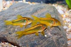 Corydorasvissen Royalty-vrije Stock Afbeeldingen