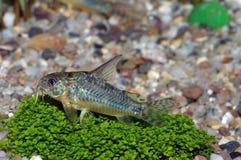 Corydorasvissen stock foto's