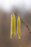 Corylus avellana, цветки мужчины Hazelnoot стоковые фото