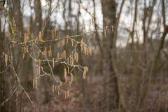 Corylus avellana Arbusto della nocciola in primavera fotografie stock