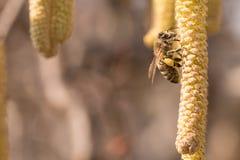 Corylus avellana - honey bee collecting nectar on a hazelnut shrub in spring. Corylus avellana - bee collecting honey on a hazelnut shrub in spring stock photos