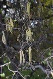 Corylus avellana contorta in bloom. Yellow inflorescence of Corylus avellana contorta in springtime royalty free stock image