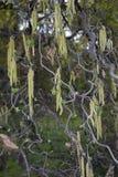 Corylus avellana contorta in bloom. Yellow inflorescence of Corylus avellana contorta in springtime stock photo