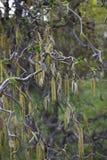 Corylus avellana contorta w kwiacie obrazy royalty free