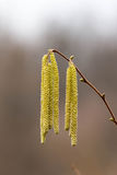 Corylus avellana, Hazelnoot male flowers Stock Photos