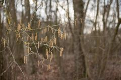 Corylus avellana. Hazelnut shrub in spring stock photos