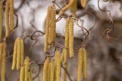 Corylus avellana. Hazelnut shrub in spring. Corylus avellana. Hazelnut shrub in the early spring stock images