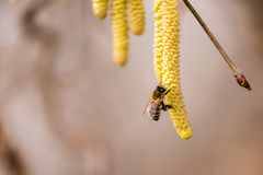 Corylus avellana - honey bee collecting nectar on a hazelnut shrub in spring. Corylus avellana - bee collecting honey on a hazelnut shrub in spring stock image