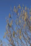 Corylus avellana zimy kwitnienie zdjęcia royalty free
