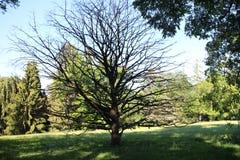 Corylus colurna in garden of Buchlovice castle. Czech republic royalty free stock images
