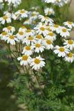 Corymb-λουλούδι tansy στοκ φωτογραφίες