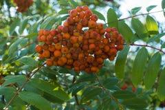 Corymb av orange pomes av rönnen Royaltyfri Bild