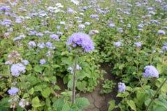 Corymb van blauwe bloemen van Ageratum-houstonianum royalty-vrije stock fotografie