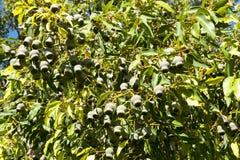 Corymbia Calophylla Tree Royalty Free Stock Photos