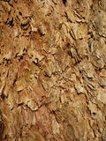 Corymbia Leichhardtii skäll Royaltyfri Bild