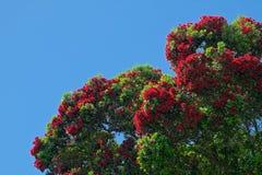Corymbiaficifolia, Eucalyptusficifolia, rode bloeiende gomboom stock fotografie