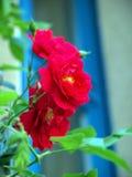 corymbifera套期交易拉丁桃红色红色上升了 免版税库存照片