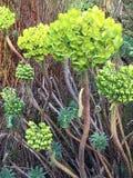 Corynbosum Leucadendron, ή το κοινό όνομα αφρικανολλανδικής, Swartlands, 2 στοκ φωτογραφίες