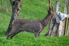 Corzo, cabra, ciervo aislado Imagen de archivo libre de regalías