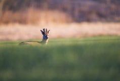 Corzo en el campo verde Foto de archivo