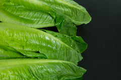 Cos lettuce Royalty Free Stock Photos