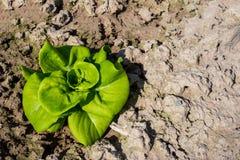 Cos Lettuce dans le jardin Photographie stock libre de droits