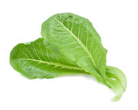 Cos Lettuce frais Image stock