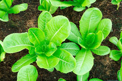 Cos Lettuce Royalty Free Stock Image